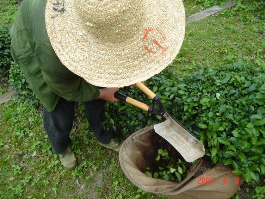 福建省茶摘み
